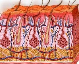 aged dermis layers