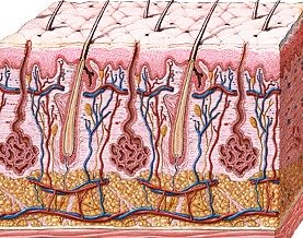 younger dermis layers